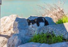 Cullera inicia la campanya d'esterilització de gats