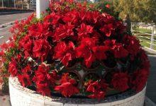 L'Ajuntament de València planta 5.500 flors de Pasqua
