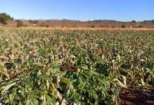 LA UNIÓ de Llauradors estima que les pèrdues per la borrasca Filomena i les gelades en les hortalisses d'hivern a la Comunitat Valenciana és de quasi  10 milions d'euros