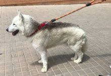 Alzira es personarà com a acusació en el cas del gos que va patir un presumpte maltractament