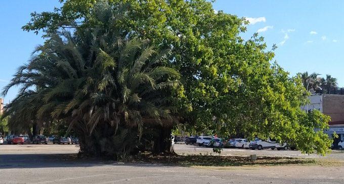 València demanarà la protecció d'un ficus d'un solar del Cabanyal com a arbre monumental