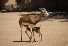 Naix en Bioparc una gasela Mhorr, una espècie que va salvar de l'extinció un conservacionista espanyol