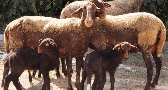 El Consell concedeix 950.000 euros en ajudes a explotacions de caps de bestiar braus i d'ovella guirra