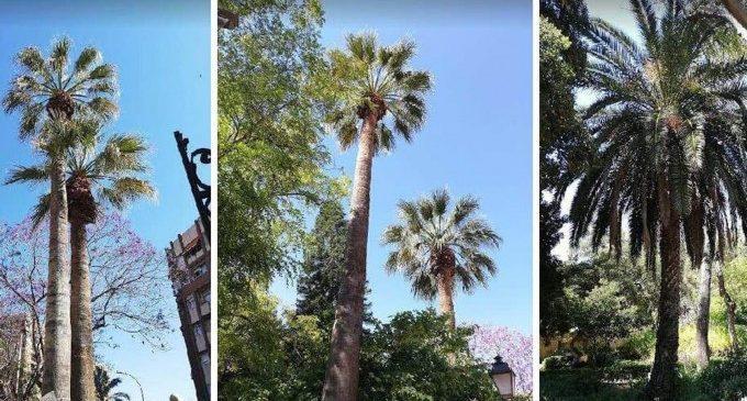 L'OAM de Parcs i Jardins realitza cirurgies i endoteràpia en les palmeres per al control del morrut roig
