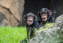 Bioparc celebra hui el Dia del Ximpanzé amb el tercer aniversari de Coco