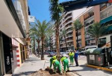 Gandía inicia la sustitución de palmeras muertas de la República Argentina con una variedad inmune al picudo