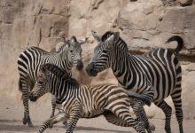 Naix en Bioparc l'última zebra de l'any