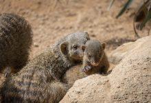 Naixen en Bioparc València ventrades de dues espècies de mangostes, ratllades i nanes